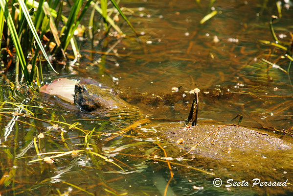 Turtle at Beaver Meadow