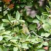 Grünfink (Carduelis chloris)