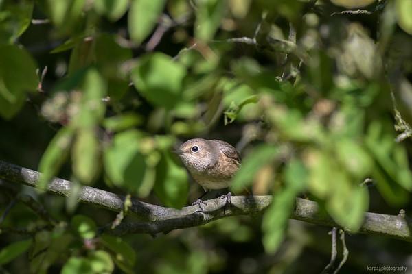Gartenrotschwanz  (Phoenicurus phoenicurus)