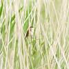 Teichrohrsänger (Acrocephalus scirpaceus)