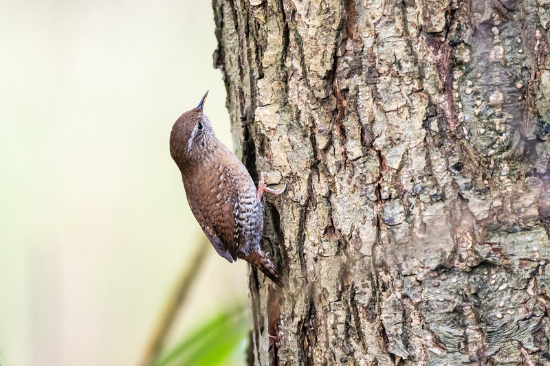 Waldbaumläufer (Certhia famillaris)