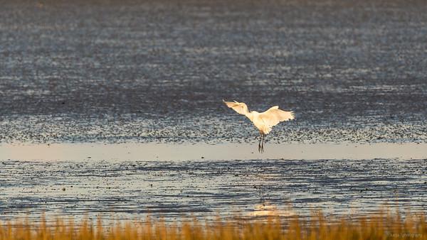 Silberreiher (Egretta alba)