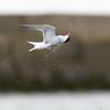 Flussseeschwalbe (Sterna hirundo)