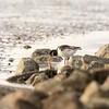 Austernfischer (Haematopus ostralegus)