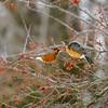 North American Robin (Turdus migratorius)