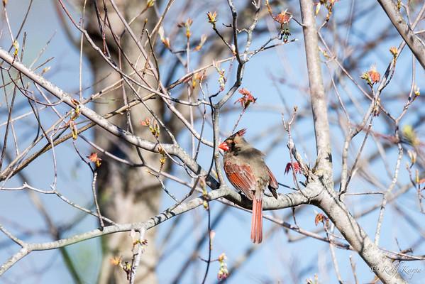 Northern Cardinal (Cardinalis cardinalis) - Female