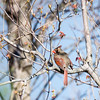 Northern Cardinal (Cardinalis cardinalis) - Female