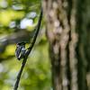 Dunenspecht (Picoides pubescens)