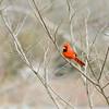 Rotkardinal (Cardinalis cardinalis)