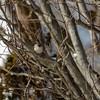 Indianermeise (Baeolophus bicolor)