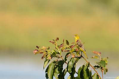 Gartentrupial (Icterus spurius)