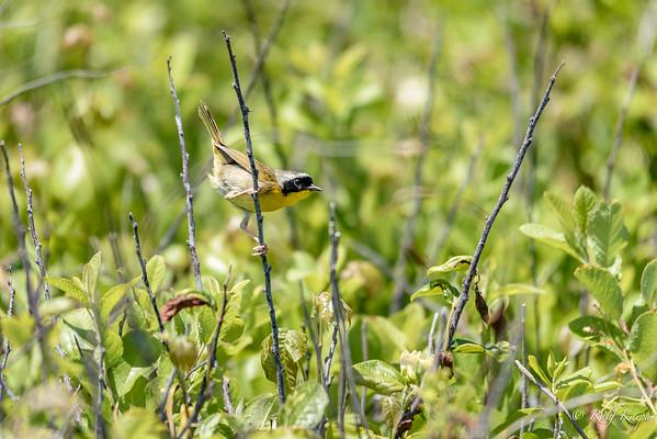 Weiden-Gelbkehlchen (Geothlypis trichas)