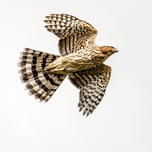 Broadwing Hawk (Buteo platypterus)
