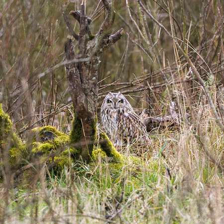 Short-eared Owls in Schillig