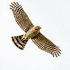 Broadwing Hawk (Buteo platypterus)