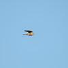 Sharp-shinned Hawk (Accipiter striatus)