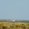 Brandseeschwalbe (Sterna sandvicensis)