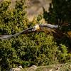 Lämmergeier (Gypaetus barbatus)