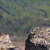 Habichtsadler (Aquila fasciata) (3pics 11104x5552px)