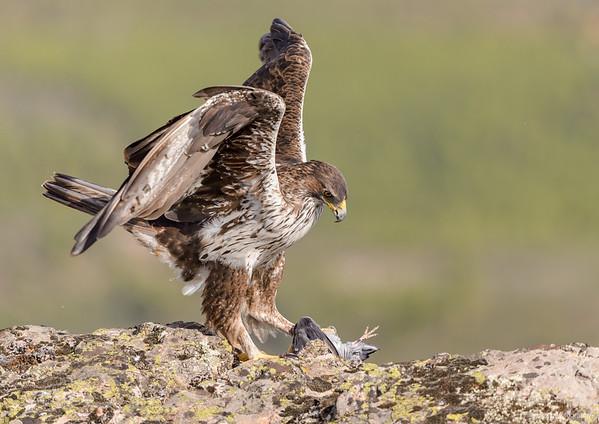 Habichtsadler (Aquila fasciata)