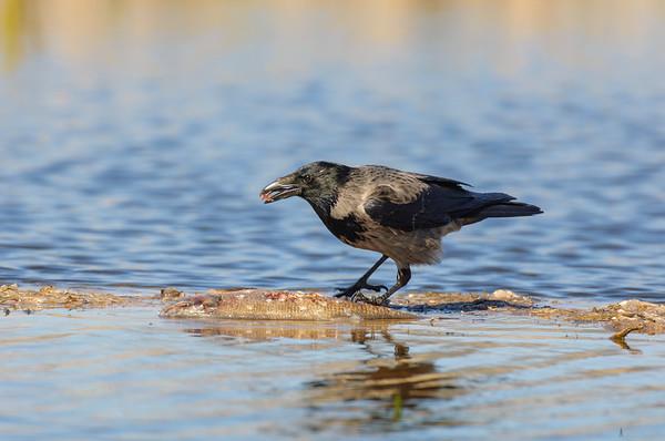 Nebelkrähe (Corvus corone cornix)