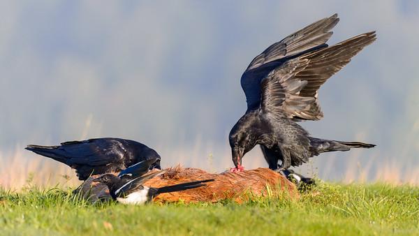 Kolkrabe (Corvus corax)