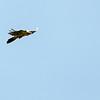 Quebrantahuesos - Bartgeier (Gypaetus barbatus)