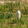 Seidenreiher (Egretta garzetta)