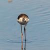Stelzenläufer (Himantopus himantopus)