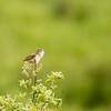 Sumpfrohrsänger (Acrocephalus palustris)