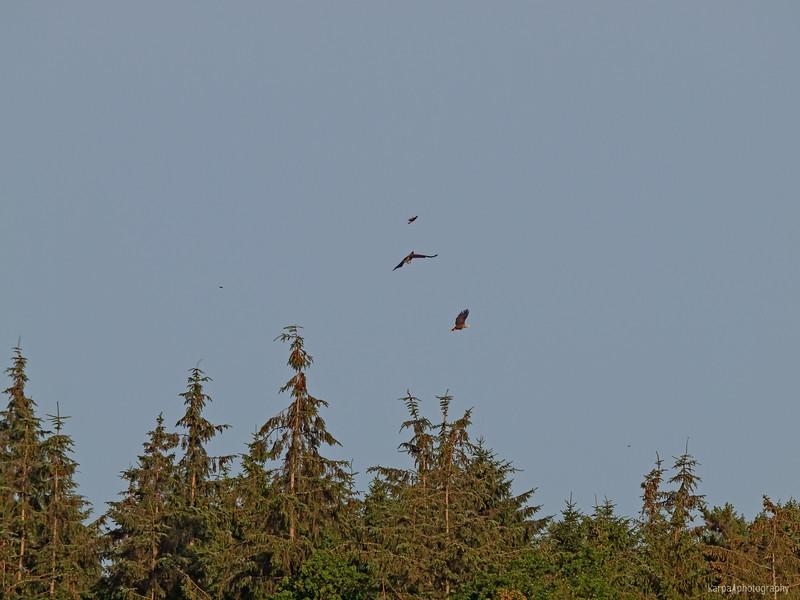 Seeadler (Haliaeetus albicilla)