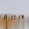 Uferschnepfe (Limosa limosa)