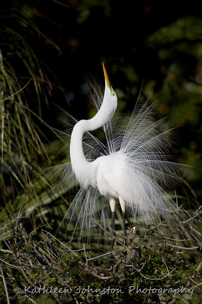 Egret in breeding plumage, St. Augustine, FL, Pick Me, Pick Me<br /> _MG_1246