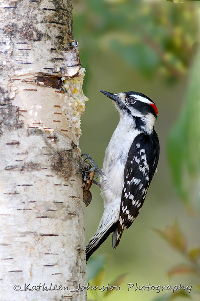 A downie woodpecker feeds on suet.