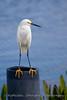 Egret on Piling