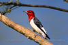 A red-headed woodpecker in eastern North Carolina.