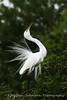 I'm So Pretty<br /> A snowy egret proudly displays it's breeding plumage during mating season.
