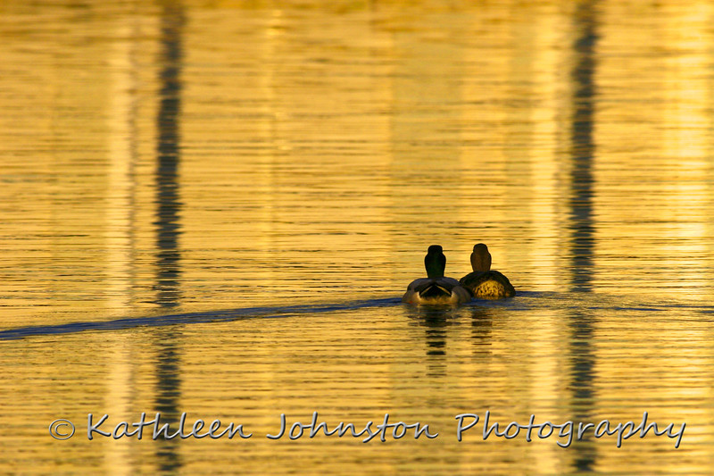Mallards at sunset