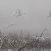 Swans Taking Off in the Fog