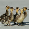 Baby Ducklings Marching