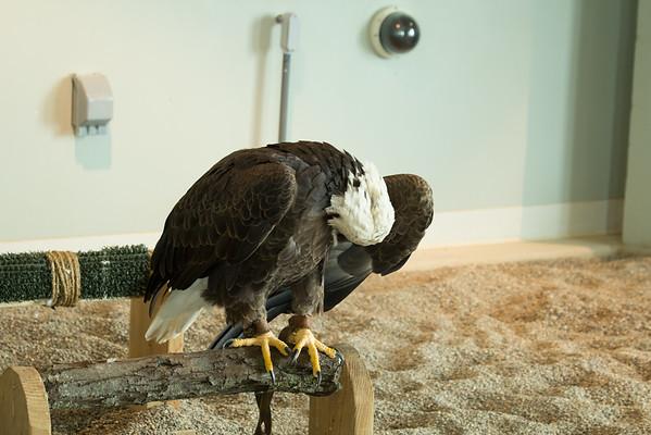 Wasaka the Eagle