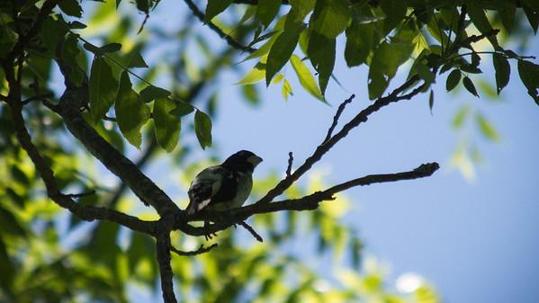 Rose-breasted grosbeak
