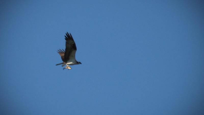 Osprey finds pre-dinner appetizer