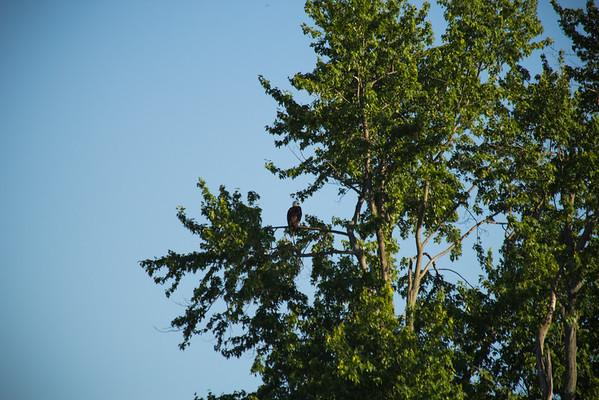 Pensive Adult Bald Eagle