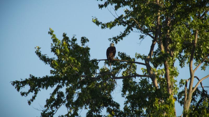 "Adult Bald Eagle Enjoying Some ""Me"" Time"