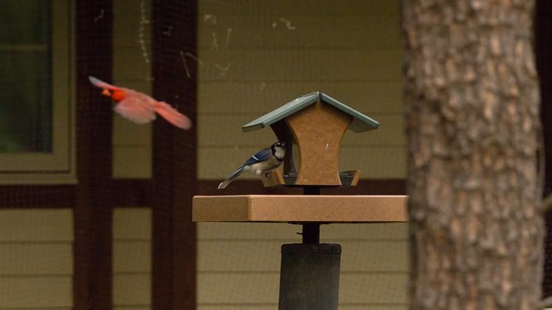 Cardinal and Blue Jay at Feeder