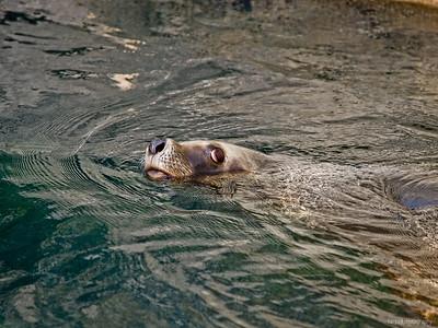 Seelöwe im Zoo am Meer