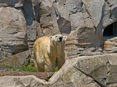 Eisbär im Zoo am Meer
