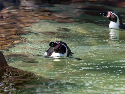 Humboldt-Pinguin (Spheniscus humboldti)