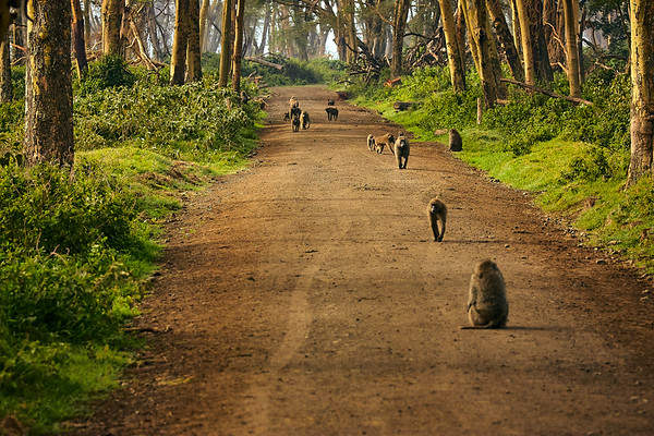 Baboon path